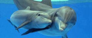 Charakteristiky druhov čierneho morského delfínu