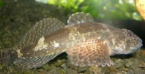 Čierne morské ryby: charakteristiky, druhy a lov mora