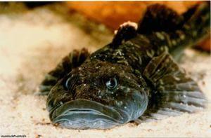 Charakteristika morského býka