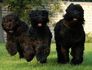 Čierny teriér: známy ruský pes