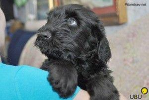 Cute Black Terrier šteňa