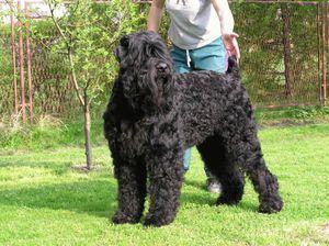 Čierny teriér - výcvik psov