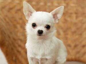 Chihuahua: starostlivosť a starostlivosť o šteňa