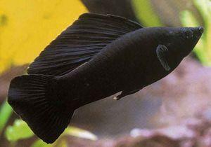 Čierna krása - akvarijné ryby molliesia. Chov a starostlivosť