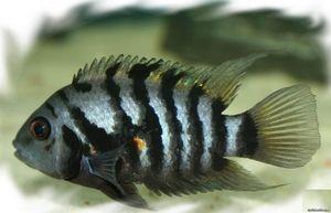 Rybie čierne cichlasma