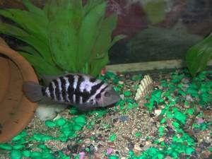 Čierna Cichlasma Ryby
