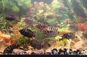 Rastúce čierne ryby