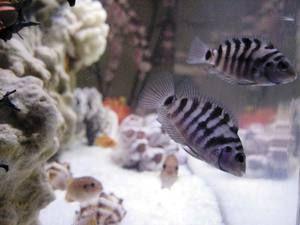 Akvárium pre čierne vlasy cichlasma
