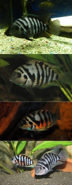 Obsah rybieho čierneho cichlasma