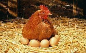 Ako nakŕmiť kurča na vajciach