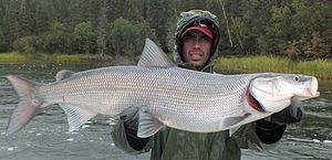 Biele biele ryby