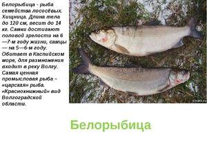 Ako ryby vyzerajú ako biele ryby