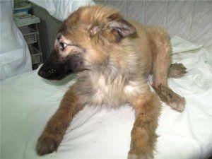 Taška na psy: príznaky, symptómy, liečba
