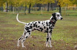 Dalmácie - popis plemena, starostlivosť o šteňa a obliekanie