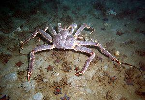 Ďaleký východný kambatský krab