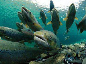 Ďaleký východný losos