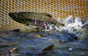 Dlhý východný losos: druhy, ryby v Rusku