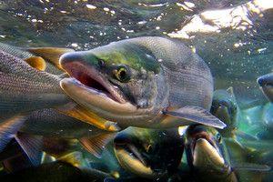 Vonkajšie príznaky bežných druhov lososa