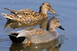 Divoká kačica: popis, obsah, kŕmenie