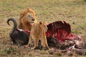 Divokí predátori z Afriky, vlastnosti druhov