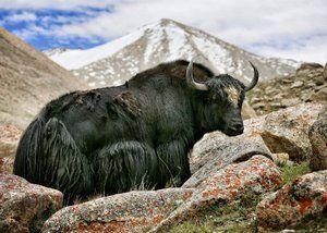 Divoký tibetský yak