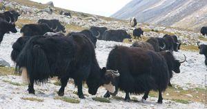 Wild Tibetan Yak Popis