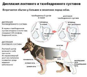 Bolestivá dysplázia u psov
