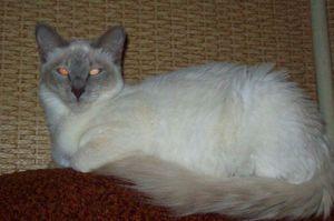 Dlhosrsté orientálne mačky: popis plemena