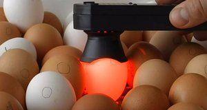 Ovoskoping kuracích vajec