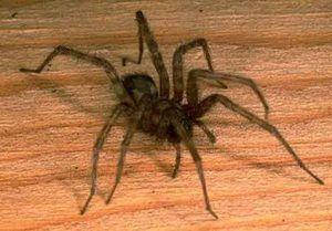 Domáce pavúky: hlavné typy domácich pavúkov