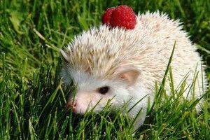 Domov Africký trpaslík ježko