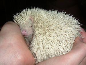 Domáce trpasličí ježko