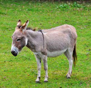 Domáce osly a osly