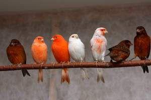 Kanárske ostrovy: koľko žijú kanáriky, starostlivosť o vtáky