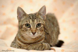 European shorthair mačka, keltský krátkosrstý vzhľad