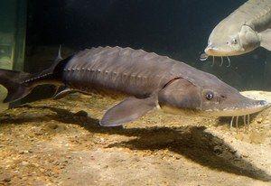 Sturgeon ryby