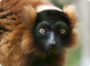 Lemurs prichádzajú vo všetkých možných typoch, veľkostiach a farbách