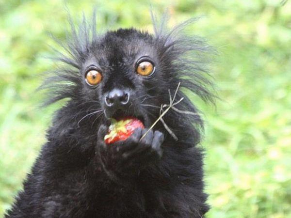 Dĺžka čierneho lemura je 39-40 cm plus chvost 51-65 cm