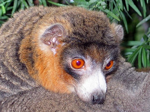 Mongot - lemur, veľkosť mačky, je z kvetov, ovocia a listov