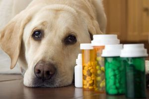 Liečba pečene psom
