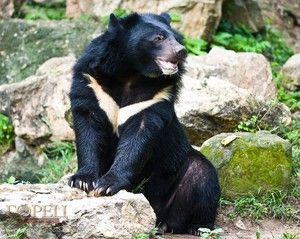Himalájsky medveď, rysy medveďov Ussuri