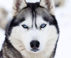 Charakter plemene psov sibírskeho husca