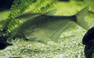Charakteristiky rýb sú modré