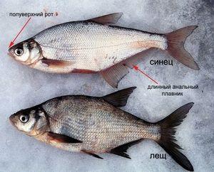 Ako rozlíšiť modrú rybku