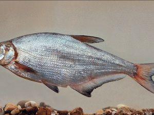 Popis hniezdnych rýb