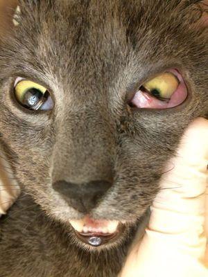 Príznaky ochorenia u mačiek