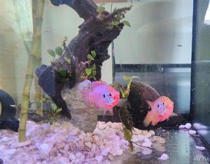 Akváriové ryby neónových chrómov