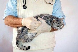 Idiopatická cystitída u mačiek: liečba cystitídy u mačiek