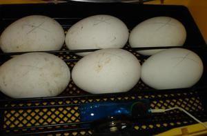 Inkubácia husích vajec