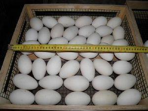 Chyby pri rozmnožovaní goslings